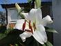 Trädlilja Min andra vita Trädlilja (OT-lilja) har slagit ut!                                2019-07-28 Trädlilja_0011