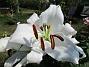 Den första vita Trädliljan har fått flera stora blommor! (2019-07-28 Trädlilja_0036)