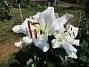 Trädlilja Den första vita Trädliljan har fått flera stora blommor!                                2019-07-28 Trädlilja_0037