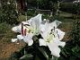 Trädlilja Den första vita Trädliljan har fått flera stora blommor!                                2019-07-28 Trädlilja_0041