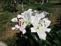 Den första vita Trädliljan har fått flera stora blommor!                                (2019-07-28 Trädlilja_0042)