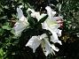 Den första vita Trädliljan har fått flera stora blommor!                                (2019-07-28 Trädlilja_0044)