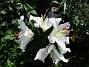 Den första vita Trädliljan har fått flera stora blommor!                                (2019-07-28 Trädlilja_0045)
