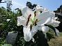 Trädlilja Den första vita Trädliljan har fått flera stora blommor!                                2019-07-28 Trädlilja_0047