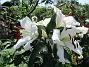 Trädlilja Den första vita Trädliljan har fått flera stora blommor!                                2019-07-28 Trädlilja_0048