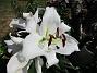 Trädlilja Syns det hur stora blommorna verkligen är?! 2019-07-28 Trädlilja_0057