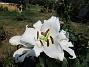 Trädlilja Syns det hur stora blommorna verkligen är?!                                2019-07-28 Trädlilja_0063