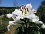 Trädlilja Syns det hur stora blommorna verkligen är?!                                2019-07-28 Trädlilja_0064