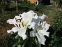 Trädlilja Många stora vita blommor på denna Trädliljan. 2019-07-28 Trädlilja_0107