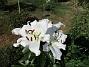 Många stora vita blommor på denna Trädliljan.                                (2019-07-28 Trädlilja_0108)