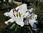 Trädlilja Många stora vita blommor på denna Trädliljan.                                2019-07-28 Trädlilja_0114