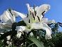 Trädlilja Många stora vita blommor på denna Trädliljan. Fint med blå himmel bakom!                                2019-07-28 Trädlilja_0118
