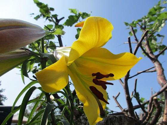 Trädlilja { Svårfotograferad gul Trädlilja, som inte riktigt slagit ut ännu.                                                               }