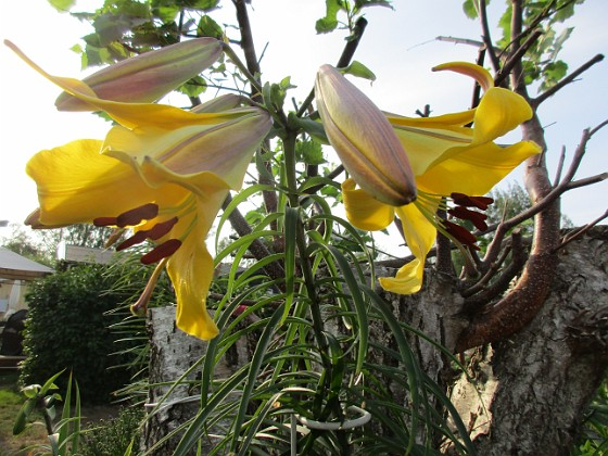 Trädlilja { Denna gula Trädlilja är jättefin, me svår att fotografera. Den har precis slagit ut och egentligen hade jag velat vänta tills i morgon, bara det att det skall regna hela dagen                                }
