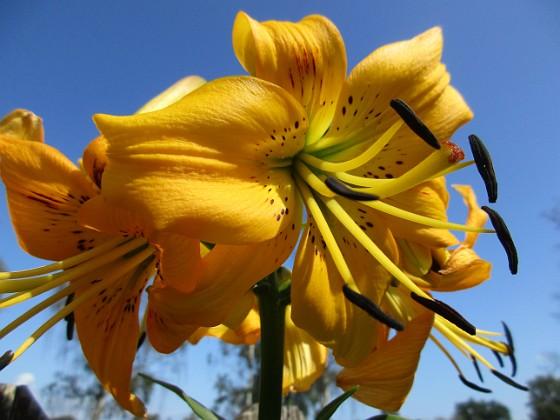 Lilja { Yellow Bruse                                }