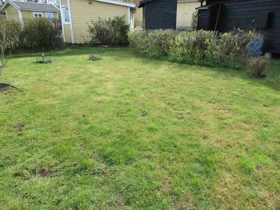 Gräsmattan Efter den mycket torra sommaren 2018, var jag tvungen att så om hela gräsmattan förra våren. Men den dog igen vid Midsommar. Så jag satte nytt gräs i augusti förra året. När jag anlände förra veckan så var gräset mycket långt och skiftade i brunt. Jag klippte ner den och då var det i princip bara gult. Nu börjar det komma upp lite gröna strån igen. Dock finns en del