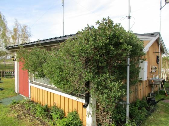 Min Kaprifol växer på bra och snart har vi nog blommor. 2020-04-24 IMG_0022 Granudden Färjestaden Öland