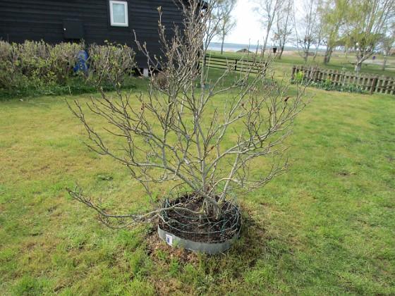 Min Magnolia är vanligen sen. Några små knoppar skymtar dock. Under så har jag satt lite Bukettanemon samt Underblomma. 2020-04-24 IMG_0024 Granudden Färjestaden Öland