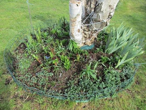Här hade vi förra året massor av olika Trädliljor. Runtom finns Blodnäva. Jag har även lite Iris som breder ut sig. Även här satte jag idag massor av frön till Underblomma. 2020-04-24 IMG_0027 Granudden Färjestaden Öland