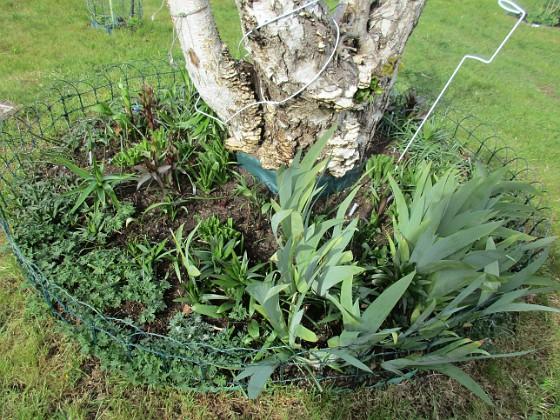 Här hade vi förra året massor av olika Trädliljor. Runtom finns Blodnäva. Jag har även lite Iris som breder ut sig. Även här satte jag idag massor av frön till Underblomma. 2020-04-24 IMG_0028 Granudden Färjestaden Öland