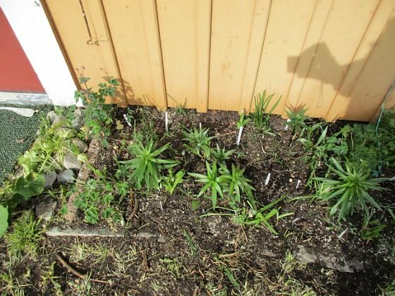 Här ser vi några av Liljorna från förra året vid Altanen. Här finns även lite Akleja. Vita pinnar indikerar var jag satt nya Liljor. 2020-04-24 IMG_0030 Granudden Färjestaden Öland