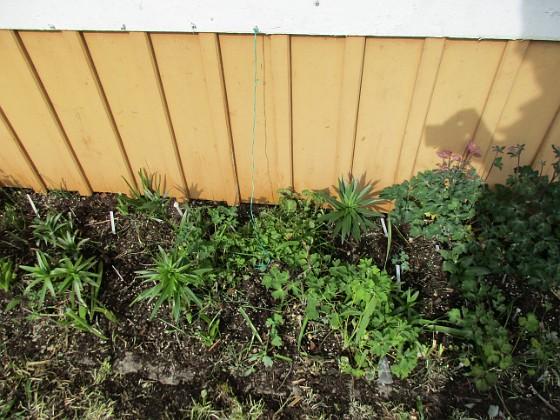 Här ser vi några av Liljorna från förra året vid Altanen. Här finns även lite Akleja. Vita pinnar indikerar var jag satt nya Liljor.                                2020-04-24 IMG_0031 Granudden Färjestaden Öland
