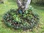 Här hade vi förra året massor av olika Trädliljor. Runtom finns Blodnäva. Jag har även lite Iris som breder ut sig. Även här satte jag idag massor av frön till Underblomma. (2020-04-24 Björken_0026)