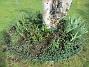 Här hade vi förra året massor av olika Trädliljor. Runtom finns Blodnäva. Jag har även lite Iris som breder ut sig. Även här satte jag idag massor av frön till Underblomma. (2020-04-24 IMG_0027)