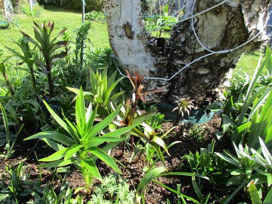Björken Förra årets Trädliljor har redan blivit jättehöga. Jag undrar hur höga de kommer att bli vid blomningen sedan. 2020-05-04 Björken_0033 Granudden Färjestaden Öland