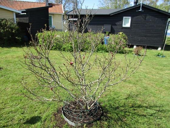 Några små knoppar har jag iaf på min Magnolia. 2020-05-04 IMG_0023 Granudden Färjestaden Öland