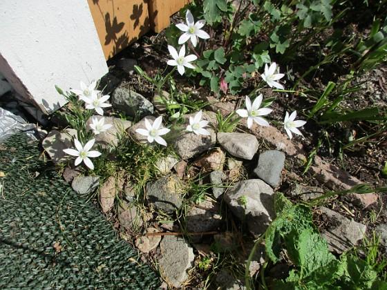 Morgonstjärna Morgonstjärnan växer som ogräs i min trädgård. 2020-05-04 Morgonstjärna_0072 Granudden Färjestaden Öland