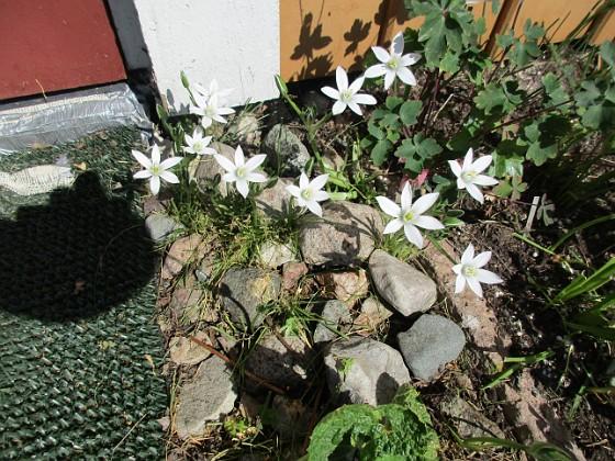 Morgonstjärna Morgonstjärnan växer som ogräs i min trädgård.                                2020-05-04 Morgonstjärna_0073 Granudden Färjestaden Öland
