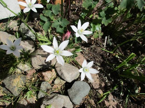 Morgonstjärna Morgonstjärnan växer som ogräs i min trädgård.                                2020-05-04 Morgonstjärna_0074 Granudden Färjestaden Öland
