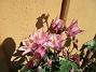 Aklejan är vacker och här är årets första bilder.                                (2020-05-04 Akleja_0080)