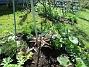 En trädlilja 'Friso' i förgrunden. Till vänster skymtar bladen av en sk 'jättelilja'. (2020-05-04 Körsbärsträdet_0018)