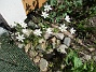 Morgonstjärnan växer som ogräs i min trädgård. (2020-05-04 Morgonstjärna_0072)