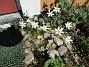 Morgonstjärnan växer som ogräs i min trädgård.                                (2020-05-04 Morgonstjärna_0073)
