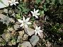 Morgonstjärnan växer som ogräs i min trädgård.                                (2020-05-04 Morgonstjärna_0074)