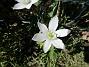 Morgonstjärnan är ett vackert ogräs.                                (2020-05-04 Morgonstjärna_0082)