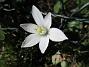 Morgonstjärnan är ett vackert ogräs.                                (2020-05-04 Morgonstjärna_0083)