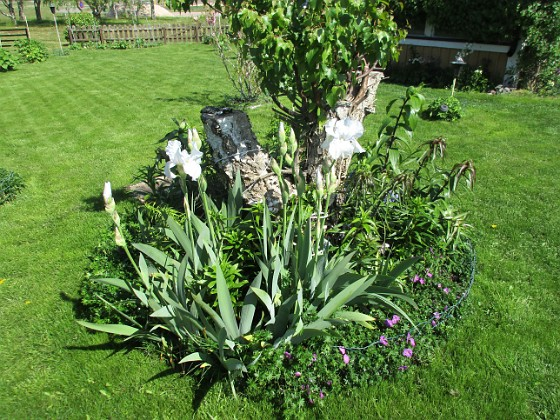 Björken Massor av Liljor och i botten finns en Blodnäva som skall täcka marken.                                2020-05-27 Björken_0051 Granudden Färjestaden Öland