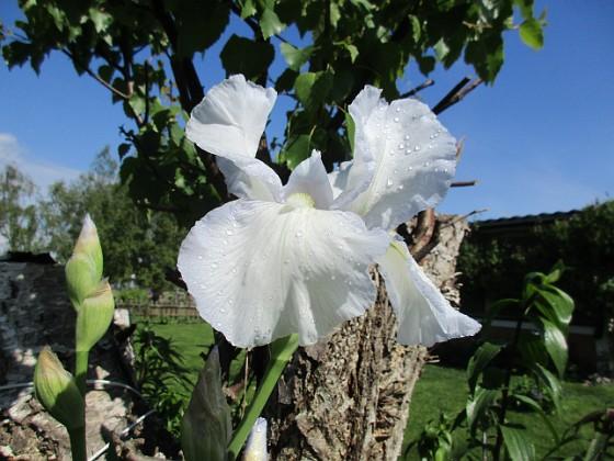 Iris { Iris Germanica. De var lite sega i starten. De första åren blev det inga blommor. Men nu blir det mer och mer. De breder ut sig också. Doften är underbar!                                }