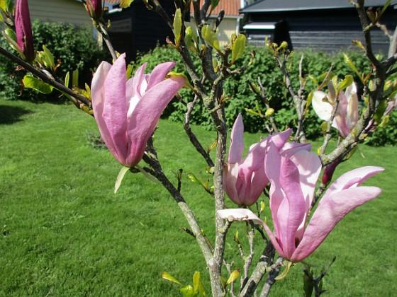 Magnolia Min Magnolia brukar vara sen, men i år har den varit senare än vanligt.                                2020-05-27 Magnolia_0040 Granudden Färjestaden Öland