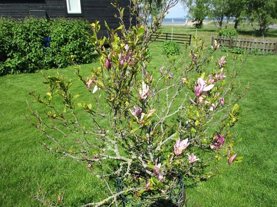 Magnolia Min Magnolia brukar vara sen, men i år har den varit senare än vanligt.                                2020-05-27 Magnolia_0044 Granudden Färjestaden Öland