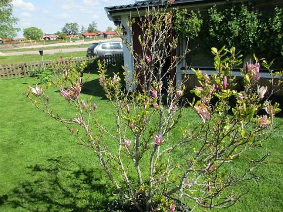 Magnolia Min Magnolia brukar vara sen, men i år har den varit senare än vanligt.                                2020-05-27 Magnolia_0045 Granudden Färjestaden Öland