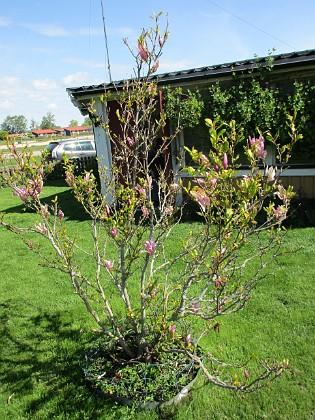 Magnolia Min Magnolia brukar vara sen, men i år har den varit senare än vanligt.                                2020-05-27 Magnolia_0046 Granudden Färjestaden Öland