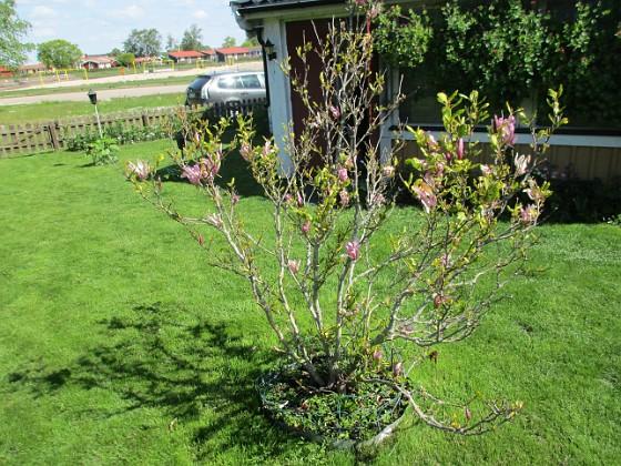 Magnolia Min Magnolia brukar vara sen, men i år har den varit senare än vanligt.                                2020-05-27 Magnolia_0047 Granudden Färjestaden Öland
