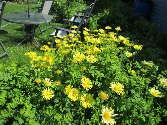 Ringkrage Den här ringkragen har blommat i flera veckor nu. 2020-05-27 Ringkrage_0056 Granudden Färjestaden Öland