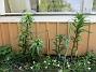 Trädliljor - redan så är höga!                                (2020-05-27 IMG_0066)