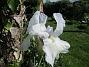 Iris Germanica. De var lite sega i starten. De första åren blev det inga blommor. Men nu blir det mer och mer. De breder ut sig också. Doften är underbar! (2020-05-27 Iris_0002)
